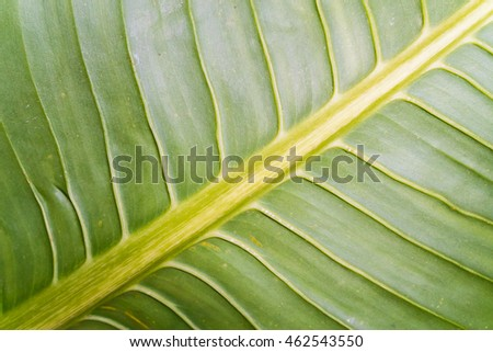 Close up of green banana leaf texture for background