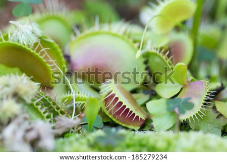 Close up of Green Dionaea muscipula , also known as flytrap - stock photo