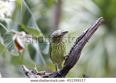 Close up of Green-eared Barbet (Megalaima faiostricta) in Thailand