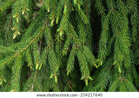 Close up of green fir branches with new sprouts in spring forest - stock photo
