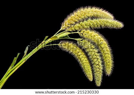 Close Up of Green Foxtail ( Fox Tail ) Grass in Black Background. - stock photo