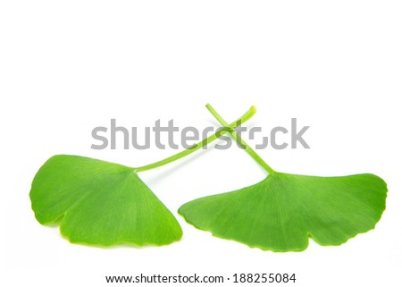 close up of green ginkgo leaves on the white background