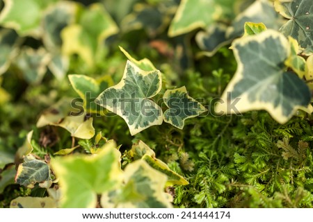 Close up of green heart shape leafs with moss in tropical environment for nature background - stock photo
