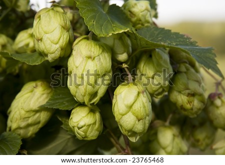 Close up of green hop plant. Shallow DOF. - stock photo