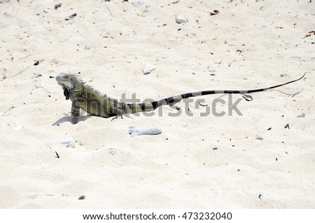 Close up of green iguana in Curacao