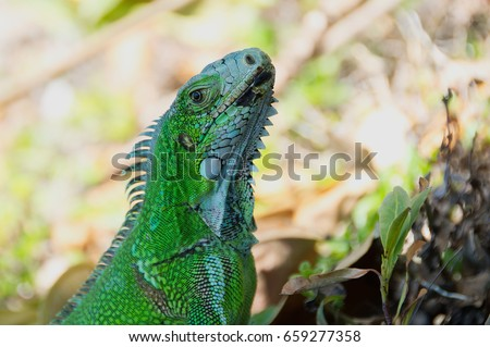 Close up of green iguana of the Caribbean - Le Gosier - Guadeloupe Antilles island