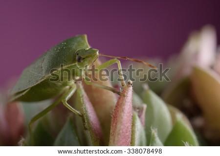 Close-up of green insect stinkbug, nezara viridula, of the Pentatomidae family on sempervivum houseleek succulent plant against pink background. Selective focus on bug head. - stock photo