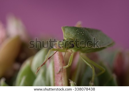 Close-up of green insect stinkbug on sempervivum houseleek succulent plant against pink background. Selective focus on bug head. - stock photo