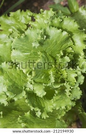 Close up of green lettuce growing in a summer garden