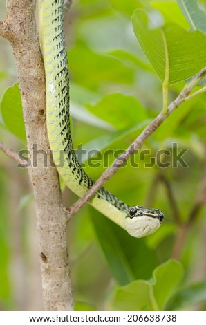 close-up of green mamba snake on tree, tropical forest, Thailand - stock photo
