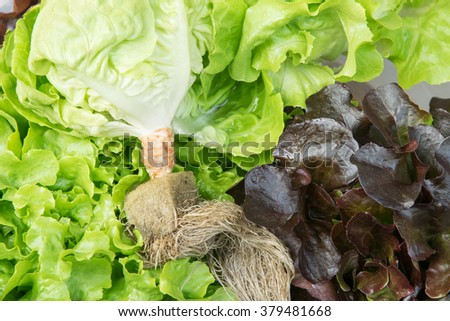 Close up of Green oak lettuce, Hydroponic vegetable, organic - stock photo