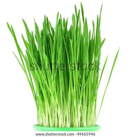 Close-up of green oat grass in a pot isolated on white - stock photo