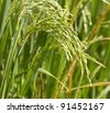 Close up of green paddy rice. - stock photo