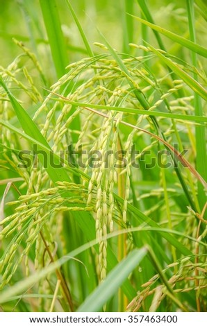 Close up of green paddy rice.  ear of rice in paddy rice field under sunrise, Blur Paddy rice field in the afternoon background - stock photo