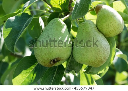 close up of green pears on tree