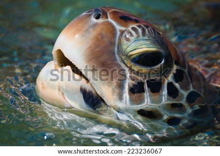 Close-up of green sea turtle's head above the water