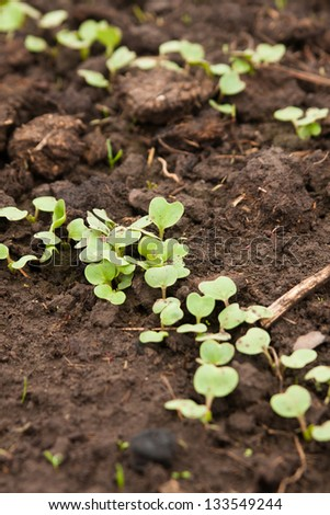 Close-up of green seedling of salad in a greenhouse - stock photo