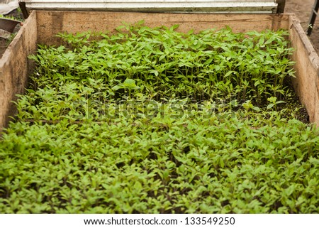 Close-up of green seedling of tomatoes in a greenhouse - stock photo