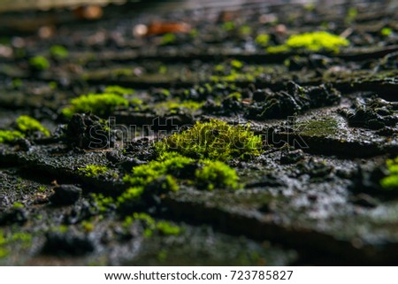 Close Up Of Green Tiny Plant Or Moss Growing On The Old Dirty Roof After  Rain