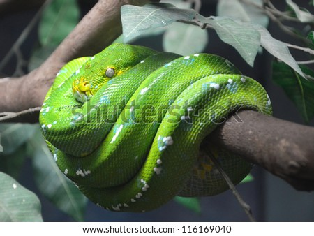 close up of green tree python wrapped around the branches