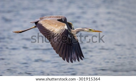 Close up of Grey Heron (Ardea cinerea) flying with wings down in nature at Leam phakbia,Thailand - stock photo