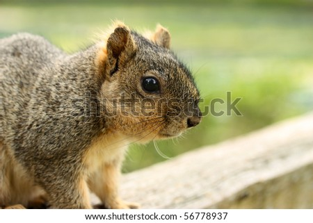 Close up of grey squirrel - stock photo
