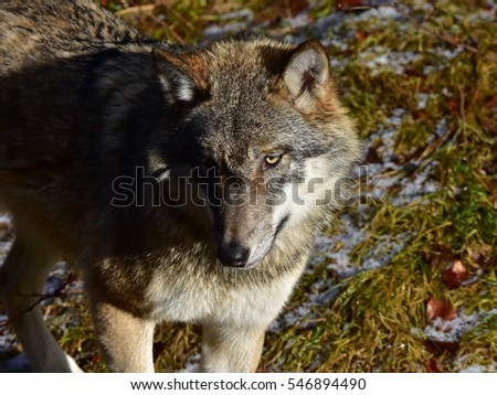 close up of grey wolf