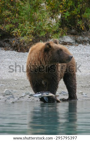 close up of grizzly bear holding salmon