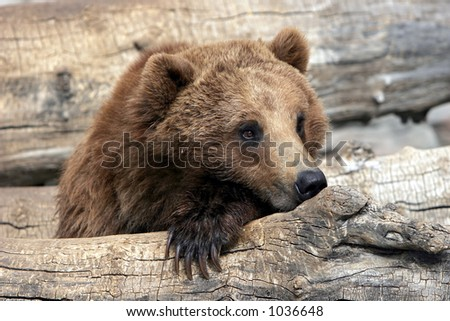 Close-up of Grizzly Bear relaxing in large zoo, captive setting (shallow focus).