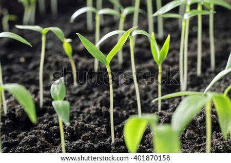 close-up of group of the young pepper sprouts  - stock photo