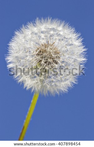 Close up of grown dandelion in the sunlight and a clear blue sky background - stock photo