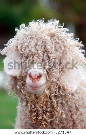 close up of hairy sheep - stock photo