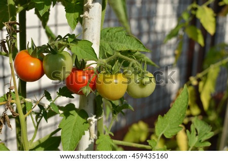 Close-up of half ripe tomatoes growing in a private garden - stock photo