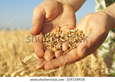 Close up of hands full of wheat seeds, wheat ears background - stock photo
