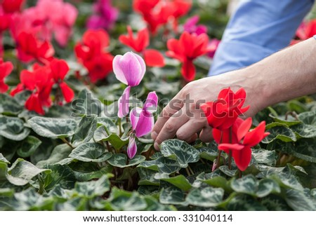 Close up of hands of male gardener planting flowers at greenhouse - stock photo