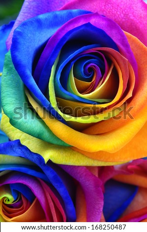 Rainbow rose stock images royalty free images vectors for Rainbow colored rose