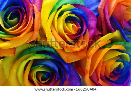 Close up of happy flower : rainbow rose with colorful petals - stock photo