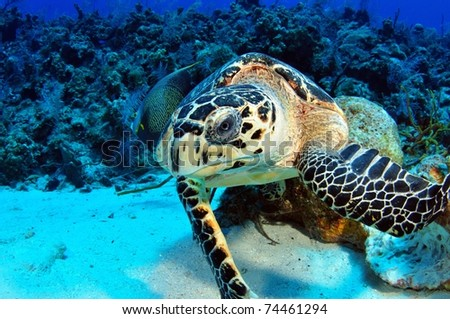 Close Up of Hawksbill Turtle - stock photo