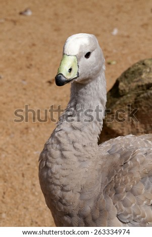 close up of head of duck  - stock photo
