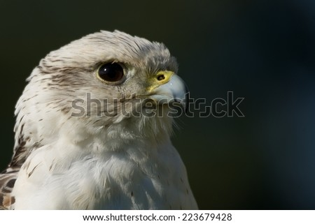 Close-up of head of gyrfalcon in profile