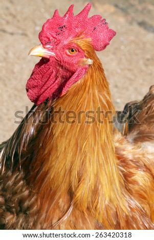 close up of head of rooster - stock photo