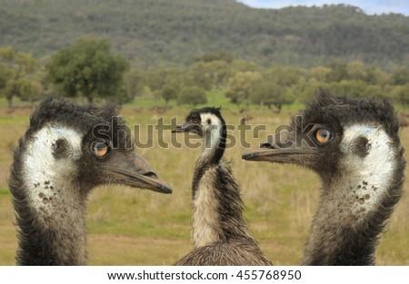 close up of head of three emus - stock photo
