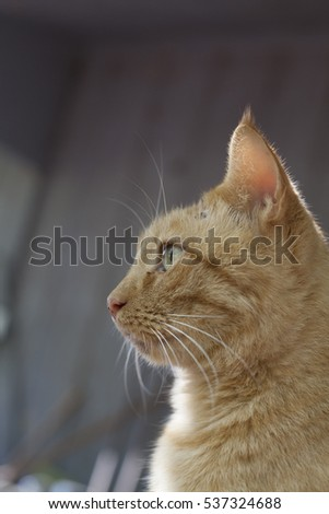 Close up of head of yellow tabby cat
