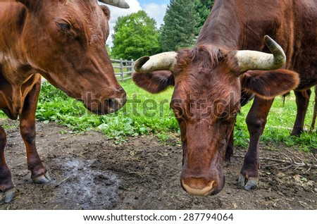 Close-Up of Heads of Two Oxen - stock photo