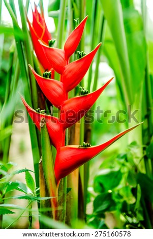 Close-up of Heliconia bihai (Red palulu), another name by which the plant is also commonly known is Balisier - stock photo