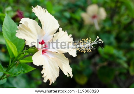 Close up of Hibiscus flower pollen - stock photo