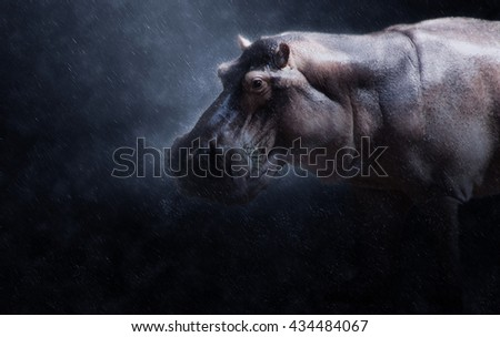 Close up of hippopotamus in the dark rains.