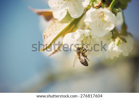 Close up of honey bee in cherry blossoms against blue sky, vintage filtered style - stock photo