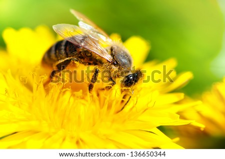 close-up of honey bee working in a yellow summer flower, macro