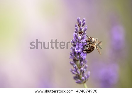 Close Up of Honeybee on Beautiful Lavender blooming in early summer on a sunny day with soft background bokeh